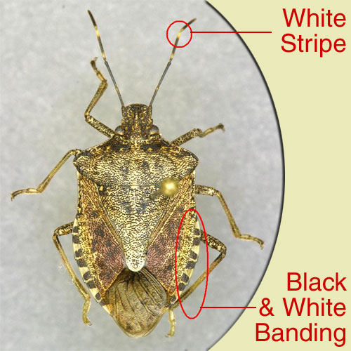 Recognition characteristics of brown marmorated stink bug.  Photo from University of Kentucky