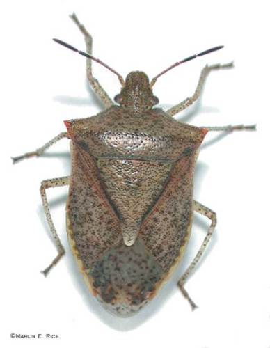 The brown stink bug is 1/2 inch long with dark tips on the antennae.  Photo by Marlin Rice.