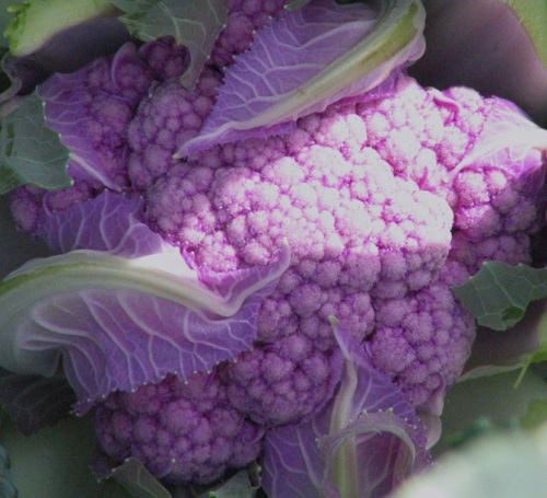 Cauliflower cultivar 'Graffiti'