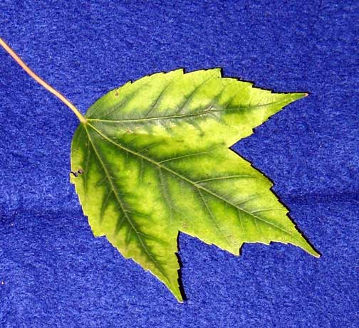 Maple manganese deficiency