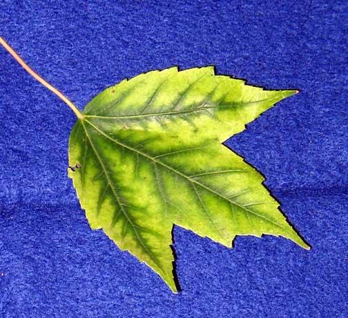 Maple manganese deficiency