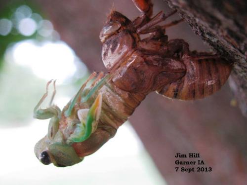 Emerging cicada.