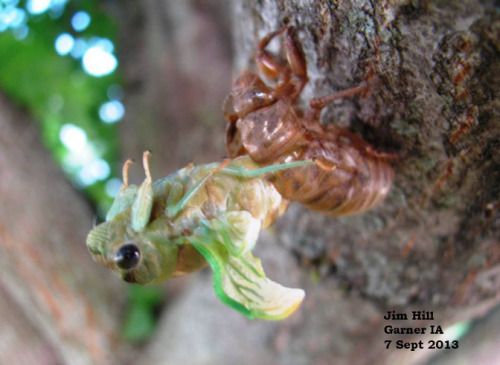 Newly emerged cicada with wings expanding.