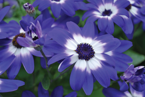 Cineraria blossoms.  Photo from ISU Extension Communications and External Relations.