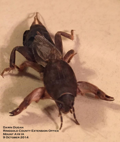 Mole crickets have enlarged, toothed front legs.