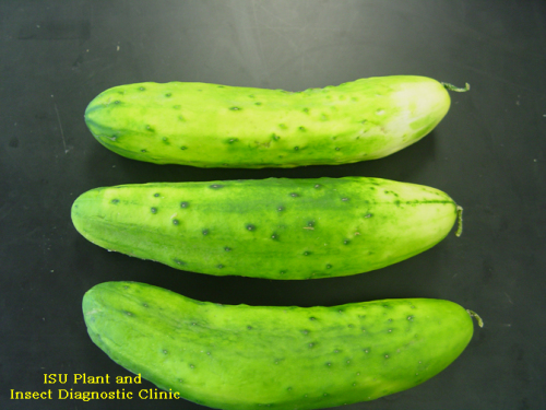 Mottling caused by an unidentified viral disease on cucumbers.