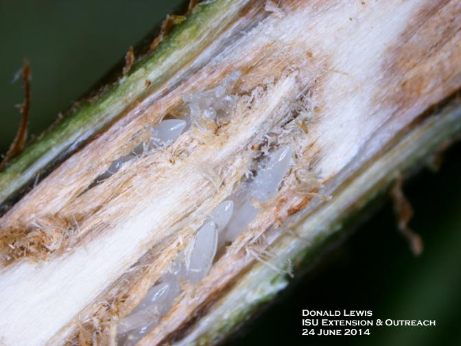 cicada eggs - photo #23