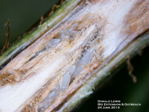 Periodical cicada eggs within stem.  Note the double row of eggs.