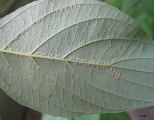 Dogwood sawfly eggs lined up along veins.