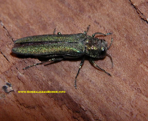 Adult emerald ash borer.  Photo from www.EmeraldAshBorer.info