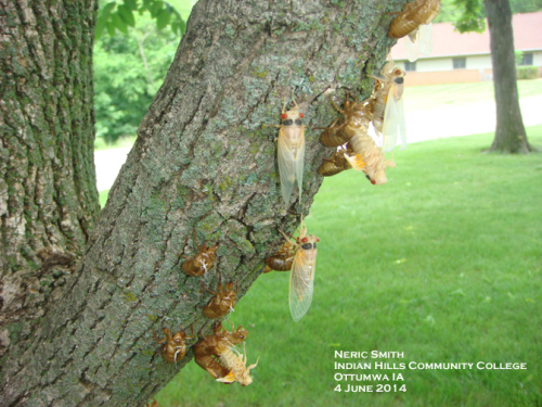 Emerging cicadas (lower center and near the top) and newly emerged (teneral) adults.