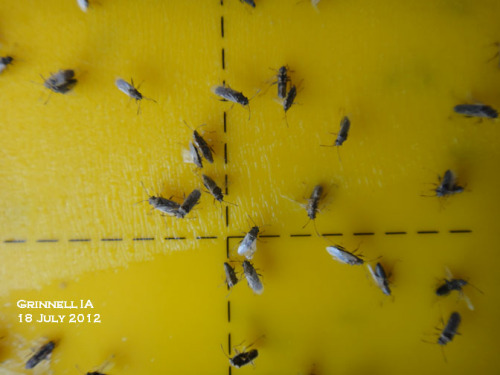 False chinch bugs on a yellow sticky trap