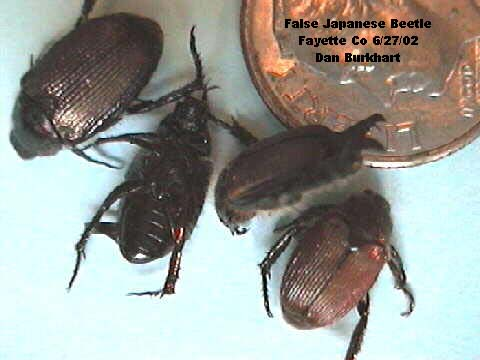 False Japanese beetles have dark tan to brown wing covers and lack the white hair tufts along the side of the abdomen that are apparent in the Japanese beetle.
