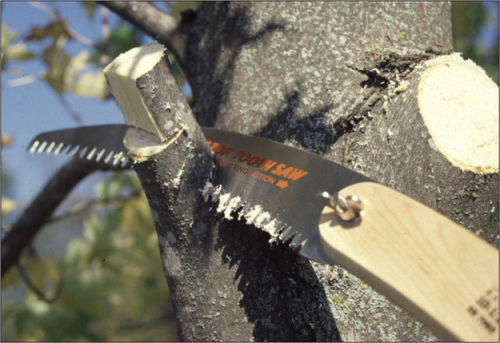 The final cut of the three-cut procedure is made just beyond the branch collar and the branch bark ridge.