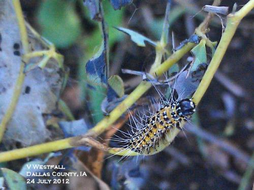 Genista broom moth caterpillar and damage to Baptisia foliage.