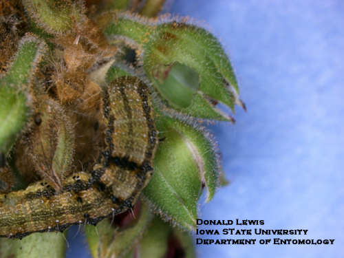 Geranium budworm next to completely-destroyed geranium bud.