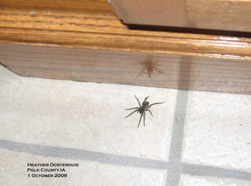Grass spider.   A common accidental invader in the fall.  Photo by Heather Oosterhuis.
