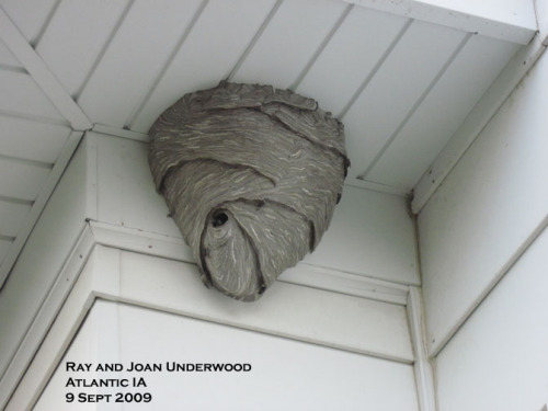 Bladfaced Hornet Nest on House.  Photo by Joan Underwood.