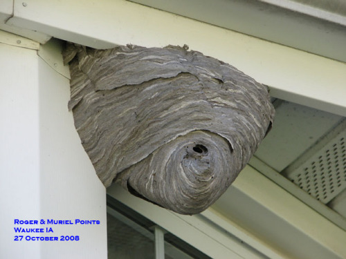 Baldfaced hornet nest.  Photo by Roger & Muriel Points