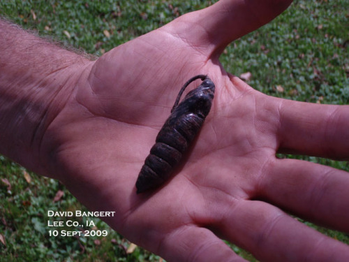 Tomato Hornworm Pupa.  Photo by D. Bangert.