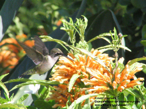 Hummingbird feeding on garden flowers.  Photo by Cindy Haynes.