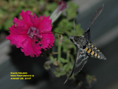 "A tobacco hornworm (""hummingbird moth"") sipping nectar from a petunia"