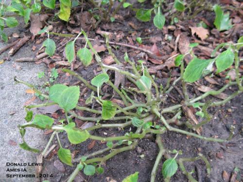 Impatiens downy mildew defoliates plants in 3 days!