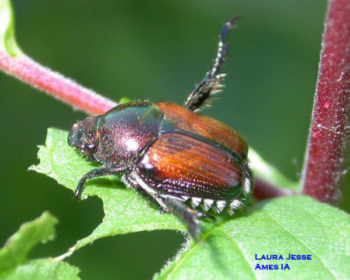Japanese Beetle.  Photo by Laura Jesse