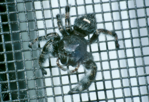 Jumping spider on window screen.  Photo by Jeff Hahn, Univ of MN