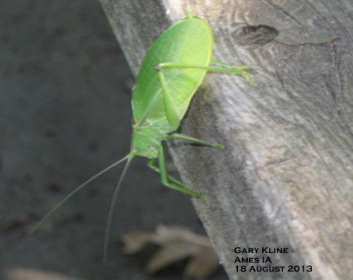 It's not common to find the katydid out of the tree, but it does happen!