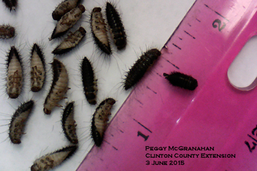 Larder beetle larvae are up to one-half inch long, tapered and covered with sparse, stiff hair.  There are two curved spines at the tail end.