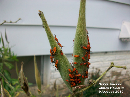 Larger milkweed bug nymphs on milkweed seed pods.