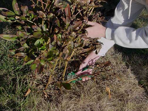 Pruning back diseased peonies