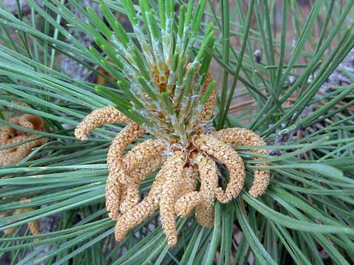 Disease on my conifers Male-pollen-struct-on-pine