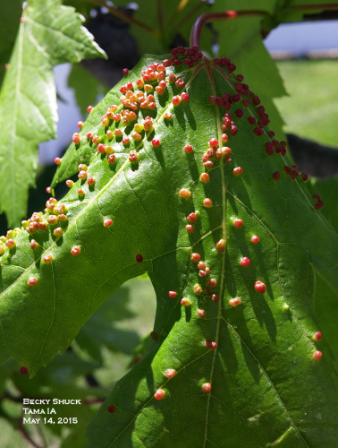 Maple bladder galls are deformations of emerging leaf tissue caused by the presence of a tiny mite.