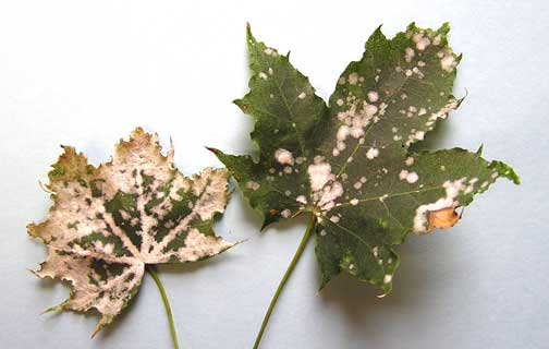 Powdery mildew on maple leaves
