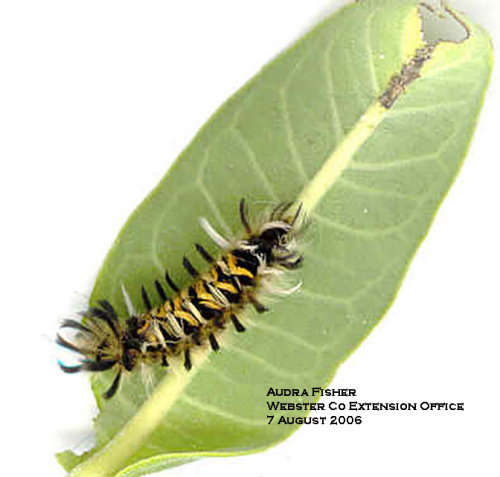 Photo 1.  Milkweed tussock moth caterpillar.