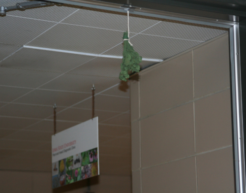 Mistletoe hanging in the doorway at the ISU Plant and Insect Diagnostic Clinic