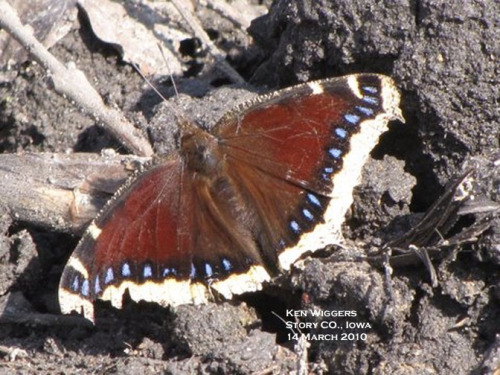 Mourningcloak butterflies spend the winter in the adult stage and appear in very early spring.