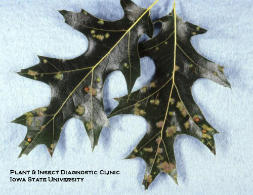 There may be several oak leaf blisters on each leaf.