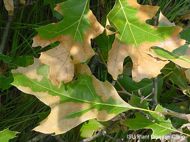 Marginal browning of red oak leaves.