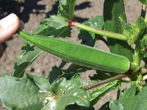 Okra | Horticulture and Home Pest News