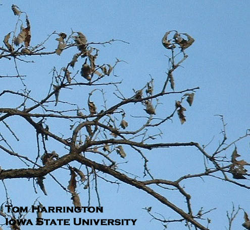 Picture 2. BOB trees often have dead leaves still hanging on the tree after winter. Photo by Tom Harrington.