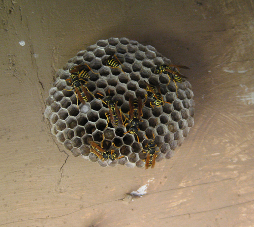 how to build a wasp nest