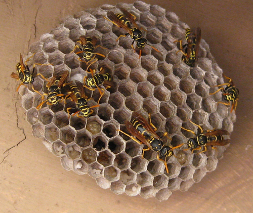 European paper wasps on their open-comb nest.  Note the orange antennae.