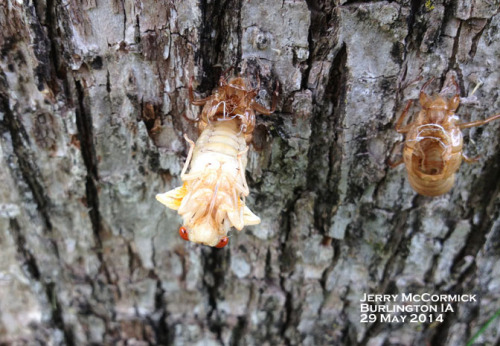 "An emerging periodical cicada.  Note the empty shells nearby on the tree trunk.  At the peak of emergence, some trees will be a solid mass of ""shells."""