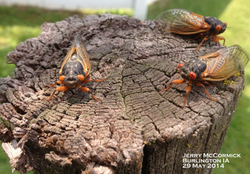 Newly emerged periodical cicadas.