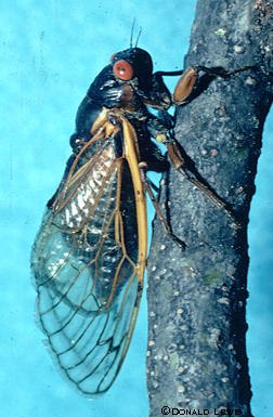 Periodical cicadas appear in June and have a black body, red eyes and orange wing veins.  Photo by Donald Lewis.