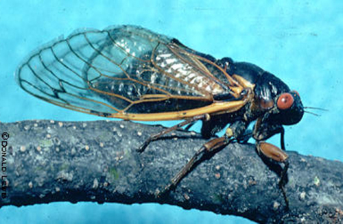 Periodical cicada.  Photo taken by the author in 1980.  This individual is a grandparent of cicadas that will emerge this year.
