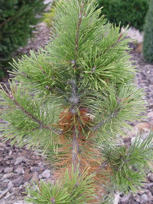 Seasonal needle loss on lodgepole pine
